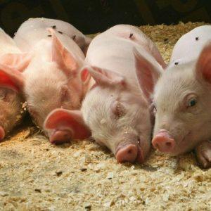 Содержание свиней — от традиционного содержания до технологического бизнеса (фото + видео)