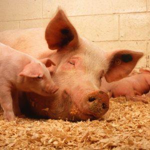 Свиноматка — особенности и характеристики подбора и правила содержания свиноматки (фото + видео)