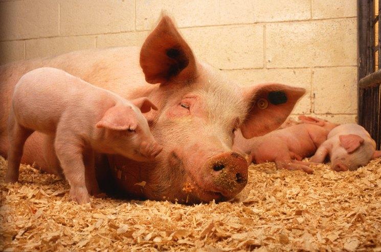 Как узнать что свинья скоро опоросится, опорос свиноматки в домашних условиях, видео