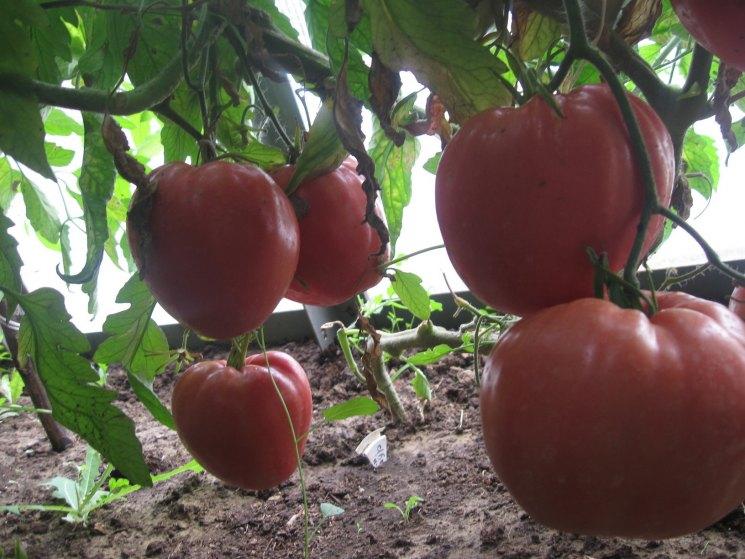 томат бычье сердце картинки кравиц воссоздала