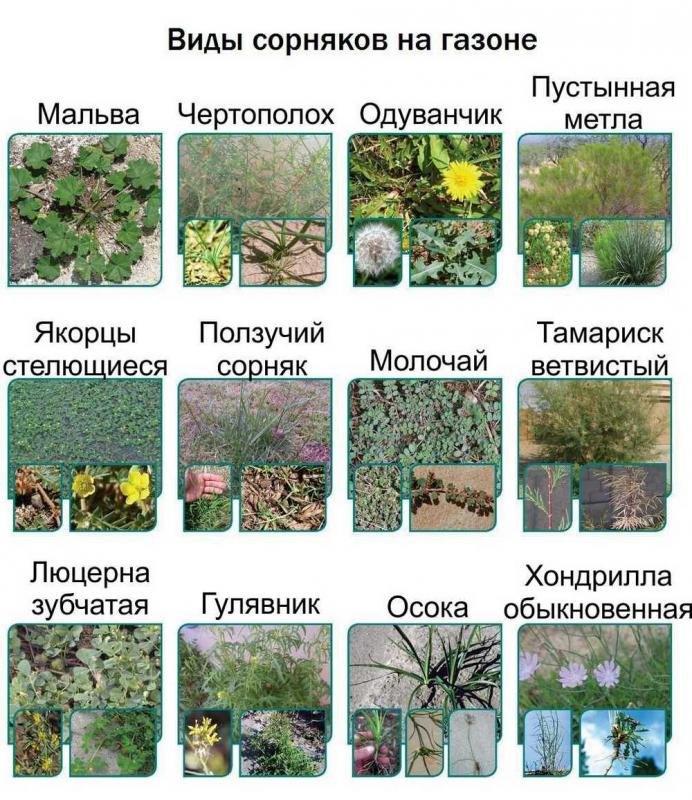веселые резкие виды сорняков фото и названия варианты этого мема