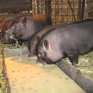 Вьетнамские свиньи — особенности породы, плюсы и минусы содержания, рекомендации и советы (фото + видео)