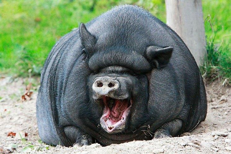 Вислобрюхая вьетнамская свинья: все о породе. Как содержать и разводить вислоухих вьетнамских свинок?