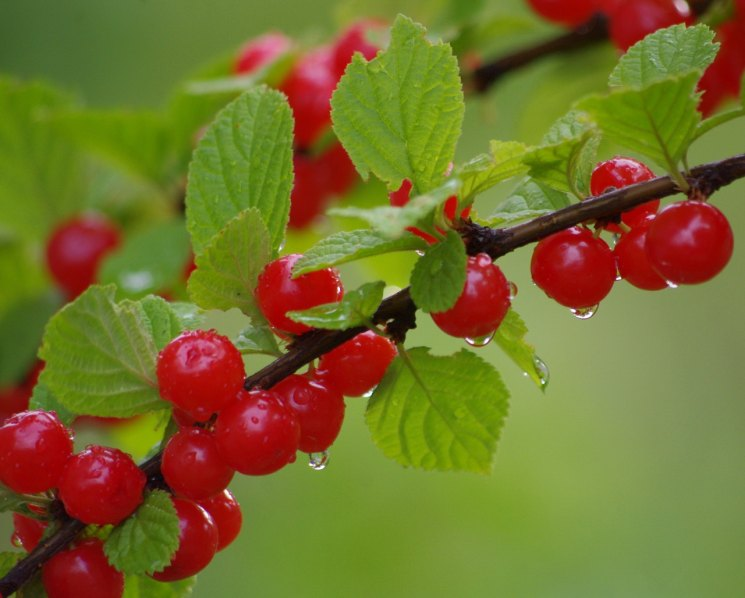 Даманка войлочная вишня