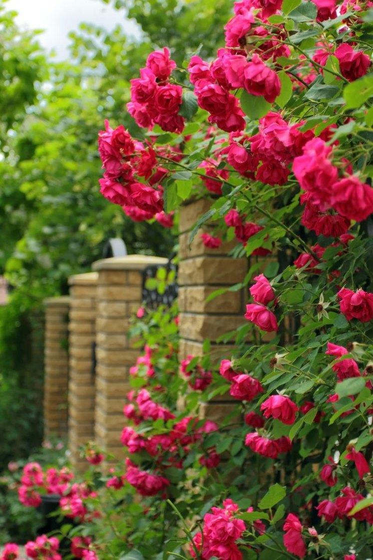 вьющиеся розы картинки крупно