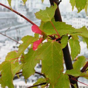Клен гиннала — экзотическое украшение сада, особенности и свойства декоративного растения, правила посадки и рекомендации (фото + видео)