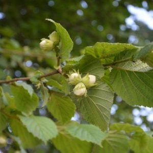 Лесной орех — от дикого предка до селекционных сортов, особенности выращивания орехов на загородном участке
