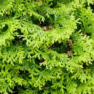 Хвойные растения для сада — вечнозелёное украшение сада, выбор, посадка, уход (фото + видео)