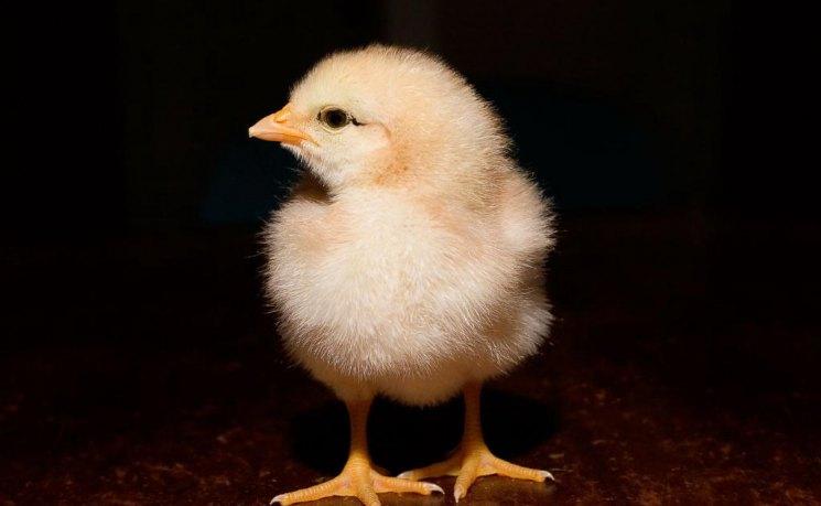 Как получают бройлерных цыплят