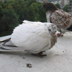 Болезни голубей — способы выявления, методы лечения и особенности профилактики болезней у голубей (110 фото)