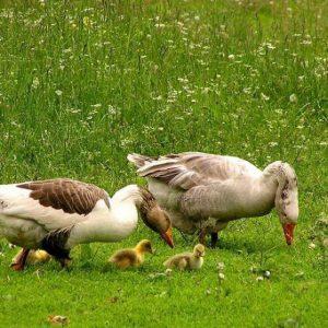 Чем кормить гусят — как правильно кормить в первые дни и советы как вырастить гусят здоровыми (125 фото)