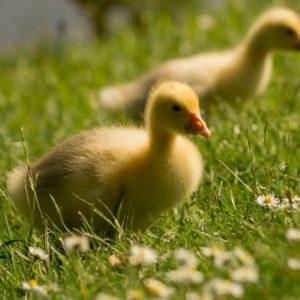 Домашние гусята — пошаговое описание, основные правила разведения и выращивание гусей (100 фото)