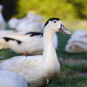 Домашняя утка — виды, описание, выращивание, содержание, уход и разведение домашней птицы (125 фото)