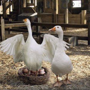 Инкубация гусиных яиц — пошаговая инструкция как выращивать гусей в инкубаторе (85 фото + видео)