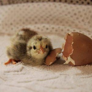 Инкубация куриных яиц — правила вывода и особенности выведения в домашних условиях курицы (115 фото + видео)