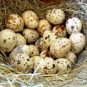 Инкубация перепелиных яиц — режимы в домашних условиях, особенности ухода и выращивания перепелов (135 фото и видео)