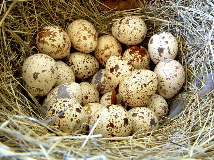 Как из перепелиного яйца вывести цыпленка