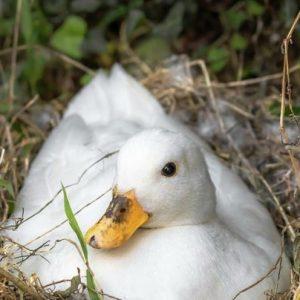 Инкубация утиных яиц: тонкости, правила и особенности выращивания уток в домашних условиях (115 фото и видео)
