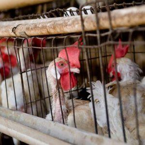 Клетки для кур — строим насесты, правильно делаем гнезда и устанавливаем поилки для кур разных пород (100 фото)