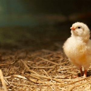Кормление цыплят: советы по выращиванию, уходу и содержанию в домашних условиях (100 фото)