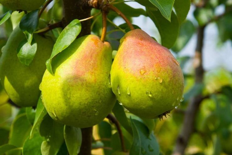 Как правильно обрезать грушу в разные сезоны года