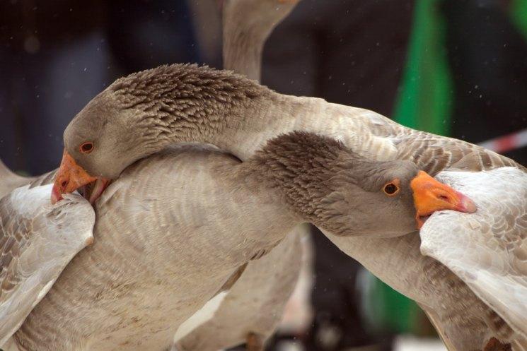 Русские гуси