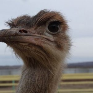 Разведение страусов: особенности, советы специалистов и советы по разведению в домашних условиях (90 фото)