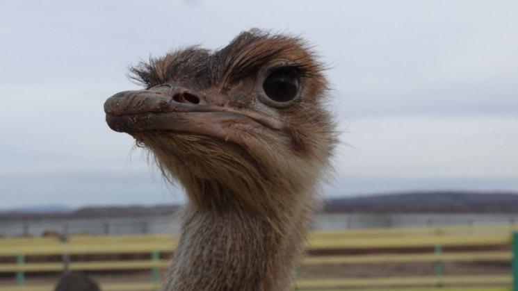 Разведение страусов - 90 фото как в домашних условиях выращивать птицу своими силами