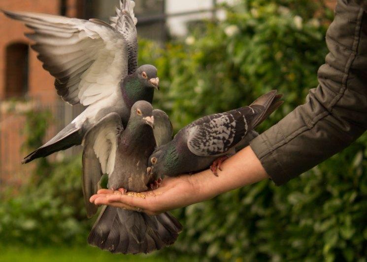 Как правильно построить голубятню