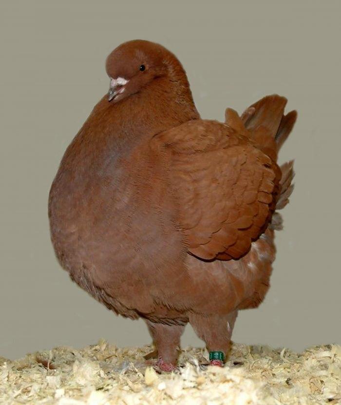 мясные голуби фото врачи специальности лор