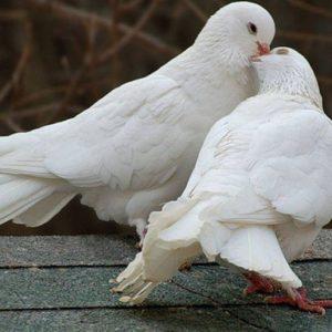 Содержание голубей — видео описание разведения и советы как построить голубятню (110 фото и видео)