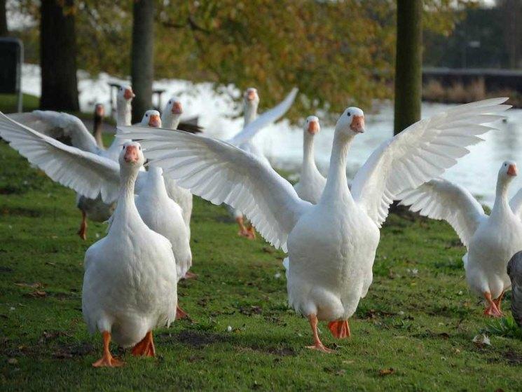 Содержание гусей помещение для содержания гусей