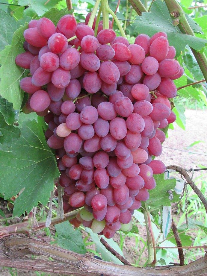какие варианты виноград кишмиш велес описание сорта фото что девушка