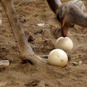 Яйцо страуса — размеры, хранение, выращивание и особенности выбора страусиных яиц (110 фото и видео)