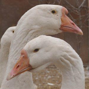 Гуси Линда: описание породы, достоинства, недостатки и правила выращивания (75 фото и видео)
