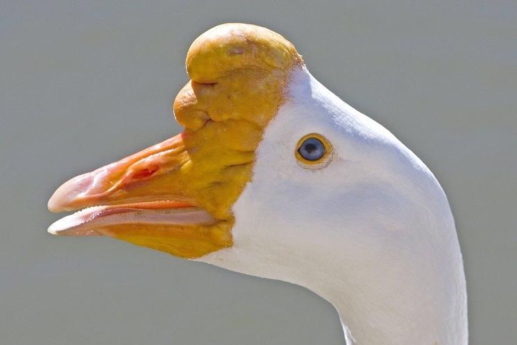 Линдовские гуси описание и характеристики породы