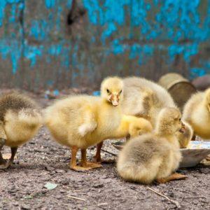 Кормление гусей — разведение и выращивание различных пород гусей в домашних условиях (105 фото)