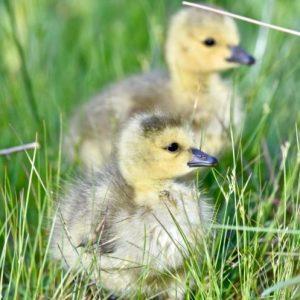 Лечение гусят — фото основных болезней, симптомы и эффективные методы лечения птенцов гусей (110 фото)
