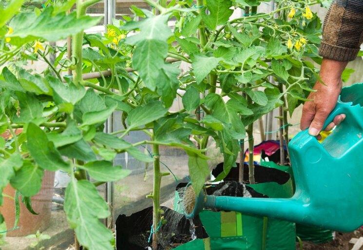 возраст томатов для высадки в теплице